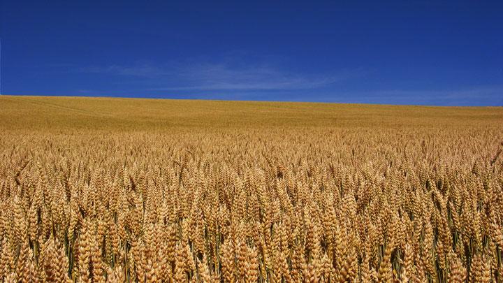 wheat02